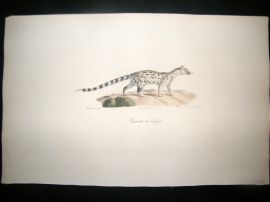 Saint Hilaire & Cuvier C1830 Folio Hand Colored Print. Senegal Genet